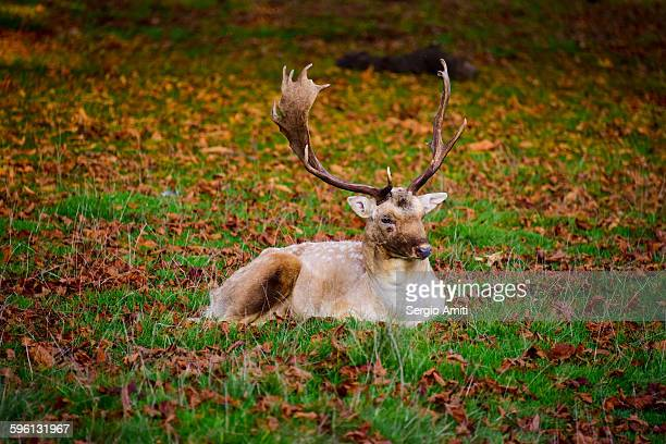 Stag sitting among autumn leaves