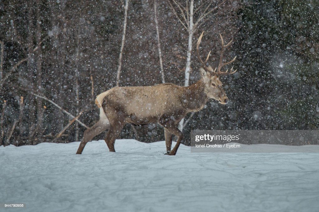 Stag Walking On Field During Snow Fall : Stock Photo