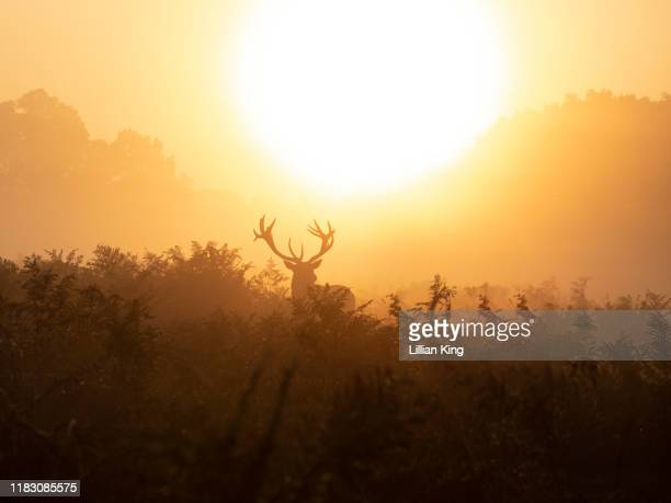 stag wandering off into the sunrise - hampton court stock pictures, royalty-free photos & images