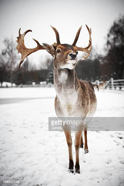 Stag with amazing horns stands alone in snowy Wintery scene