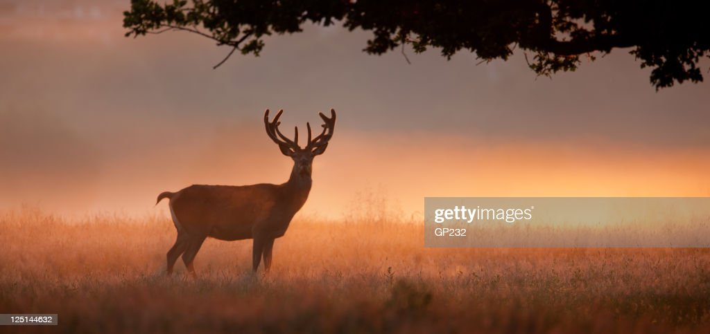 Stag with large antlers standing in meadow at dawn : Stock Photo