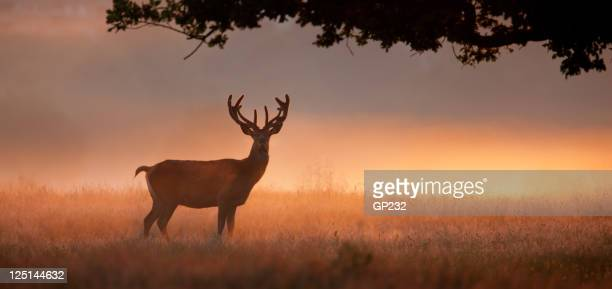 Stag with large antlers standing in meadow at dawn