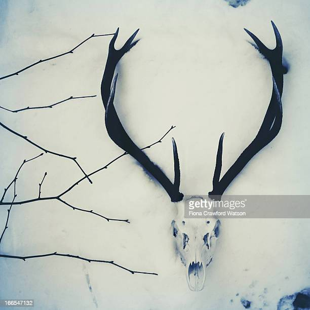 stag/deer skull and antlers in the snow - dead deer stock photos and pictures