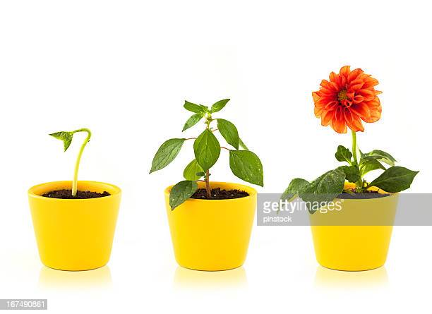 Stages of growth of a red flower in a yellow pot