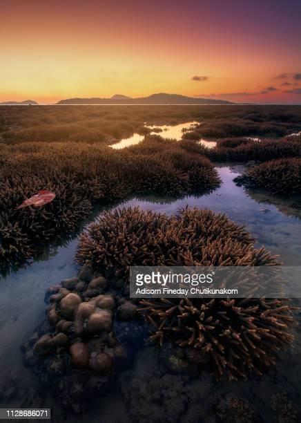 staghorn coral at phuket beach during sunrise. - ハードコーラル ストックフォトと画像
