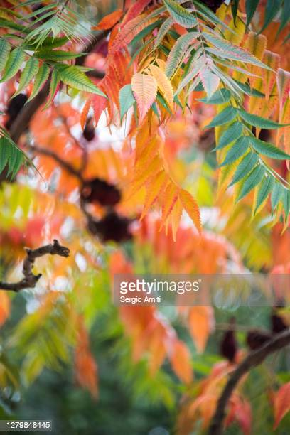 staghorn sumac branches and autumn leaves - branch stock pictures, royalty-free photos & images