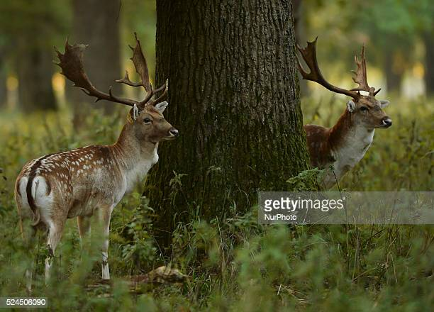 Stags in Phoenix Park, Dublin. Deep in the Irish mountains, forests and parks, tensions and testosterone levels are rising. Males deer often rub...