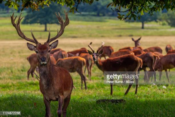 stags richmond - springbok deer stock photos and pictures