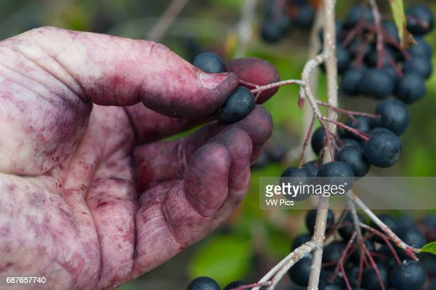 Stained hands picking Aronia