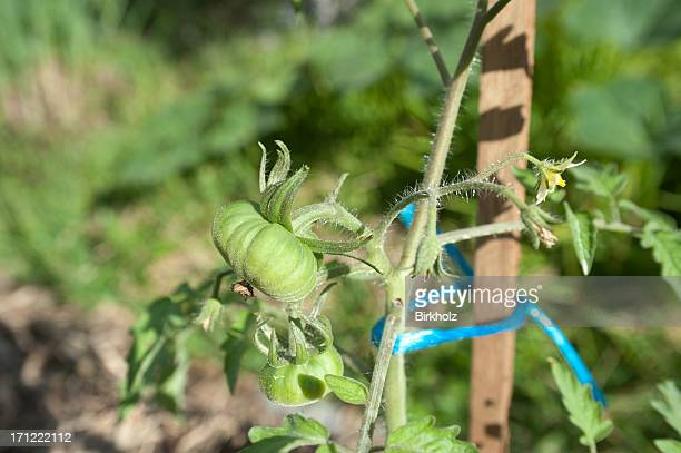 staked tomato plant - unripe stock photos and pictures