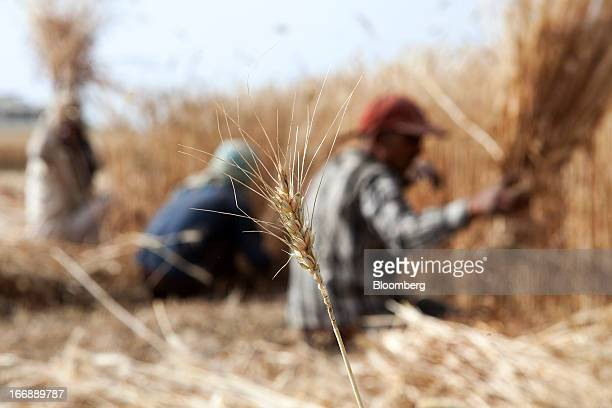 A stalk of wheat stands in the foreground as laborers harvest wheat in the district of Jalandhar in Punjab India on Tuesday April 16 2013 Wheat...