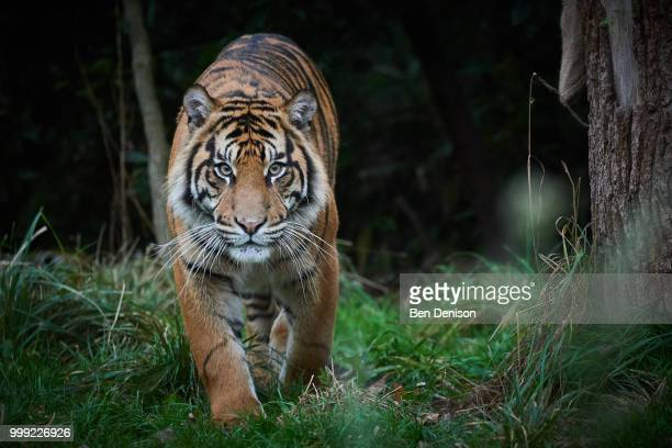 stalker - tiger stock pictures, royalty-free photos & images