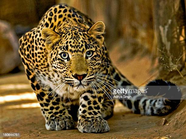 stalking leopard - leopard photos et images de collection