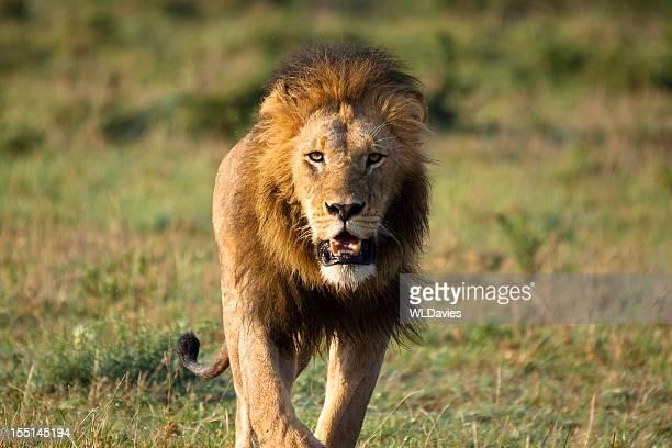 Stalking Lion