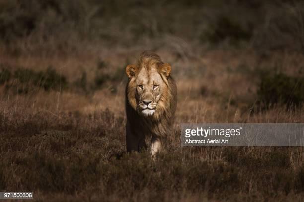 stalking lion - tiere bei der jagd stock-fotos und bilder