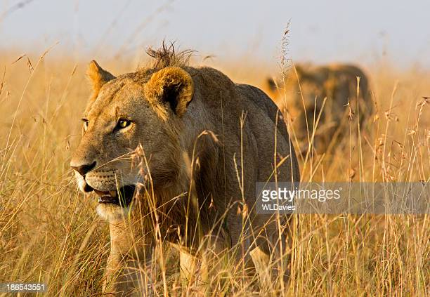 stalking lions - lion stockfoto's en -beelden