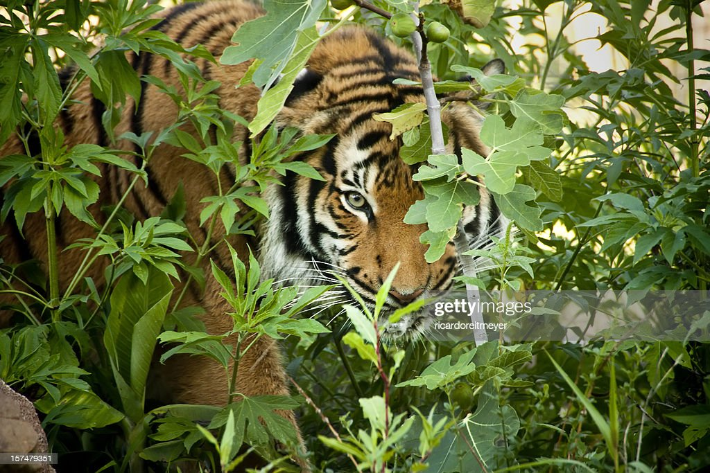 Stalking Malayan Tiger peers through the branches : Stock Photo