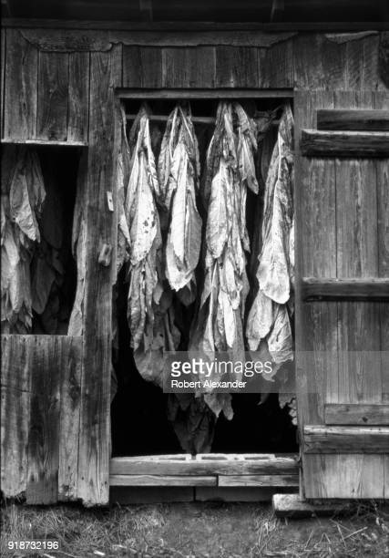 Stalks of burley tobacco hang in a barn near Abingdon Virginia Before farmers can sell their tobacco the stalks with their attached leaves are hung...