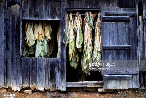 Stalks of burley tobacco hang in a barn to dry near the Appalachian town of Abingdon Virginia Before farmers can sell their tobacco to cigarette...