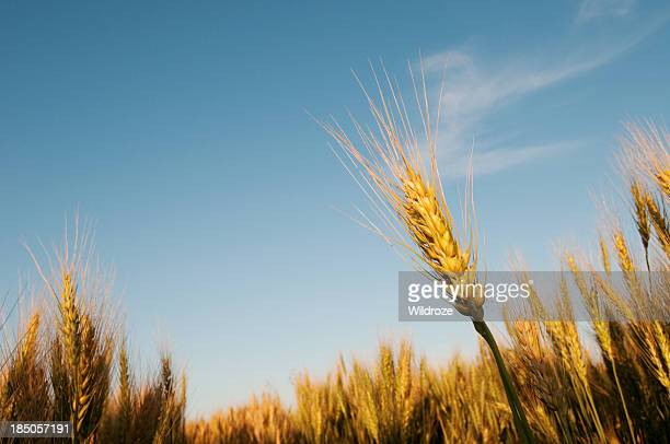 stalks of ripe grain in field - saskatchewan stock pictures, royalty-free photos & images