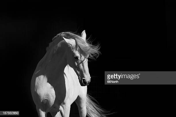 stallion on black - iberian stock photos and pictures