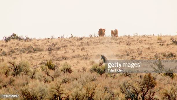 stallion rolling in dust wild west wild horses steens mountain near malhuer wildlife refuge 7 - steens mountain stock pictures, royalty-free photos & images