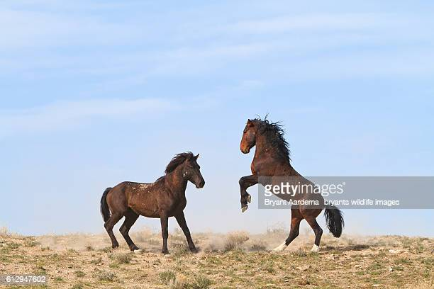 stallions - animals in the wild stock pictures, royalty-free photos & images