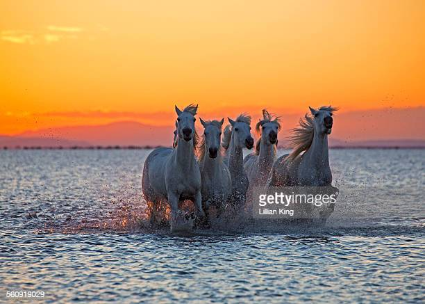 Stallions racing in sea