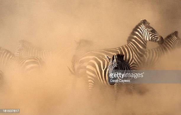 Stampede of Zebra