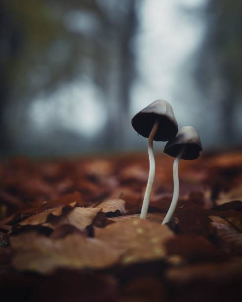 Stand mushrooms in autumn foliage, Rhododendron Park, Bremen, Germany