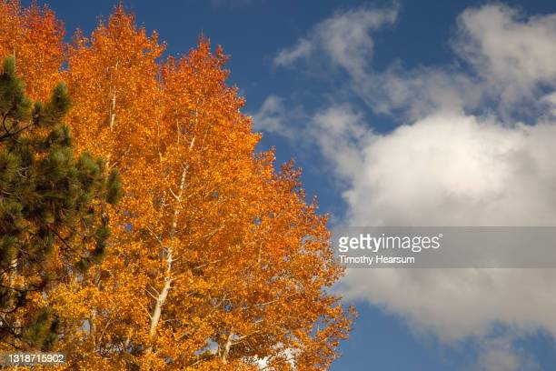 stand of bright orange aspen trees in the fall; blue sky and clouds beyond - timothy hearsum stock pictures, royalty-free photos & images
