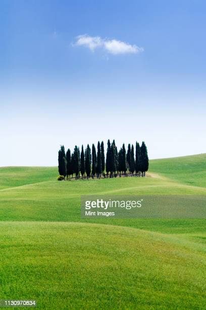 stand of cypress trees in rolling meadow - cipresso foto e immagini stock