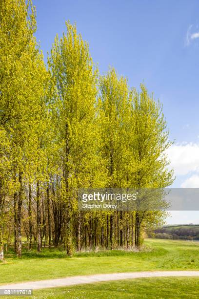 A stand of poplar trees in springtime beside Wimbleball Lake, Somerset UK