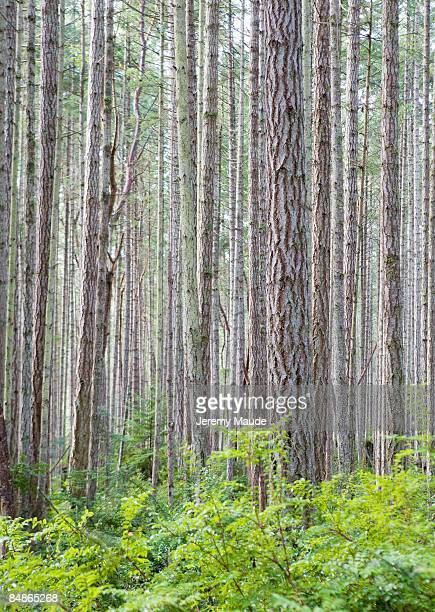 stand of trees - hemlock tree stock pictures, royalty-free photos & images