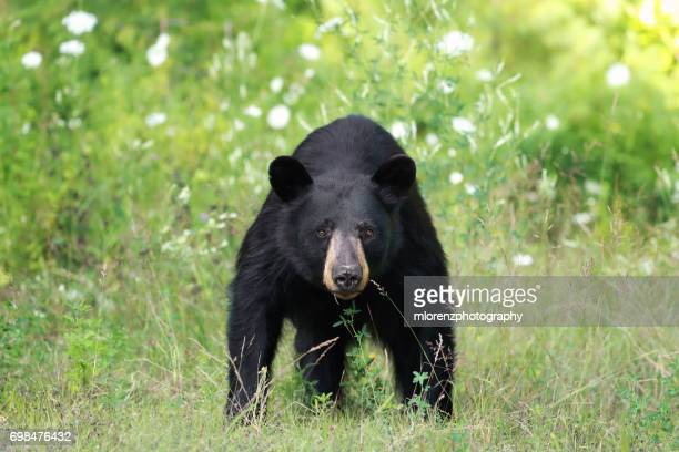 stand off - black bear stock pictures, royalty-free photos & images