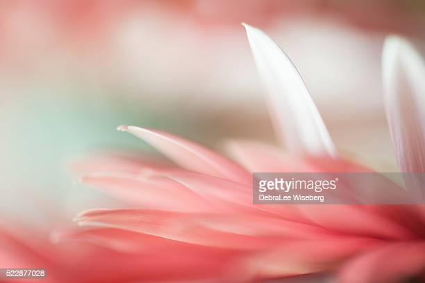 stand out  in the crowd - gerbera daisy stock pictures, royalty-free photos & images