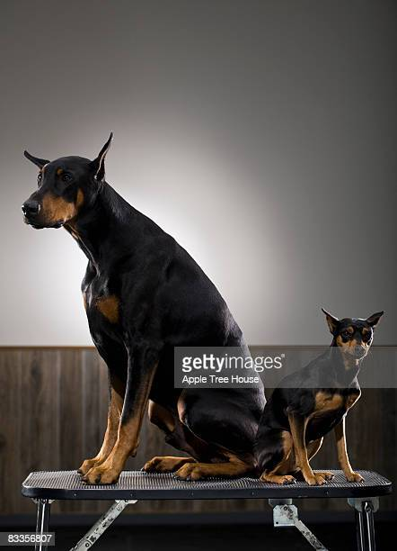 Standard and Minature Doberman Pinschers