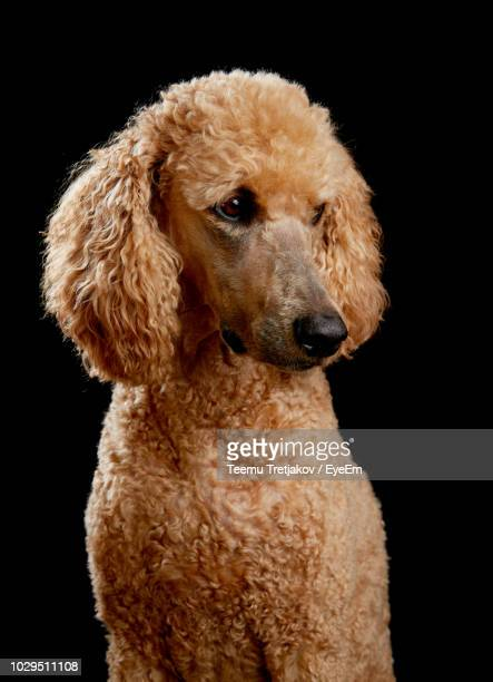 standard poodle against black background - teemu tretjakov stock pictures, royalty-free photos & images