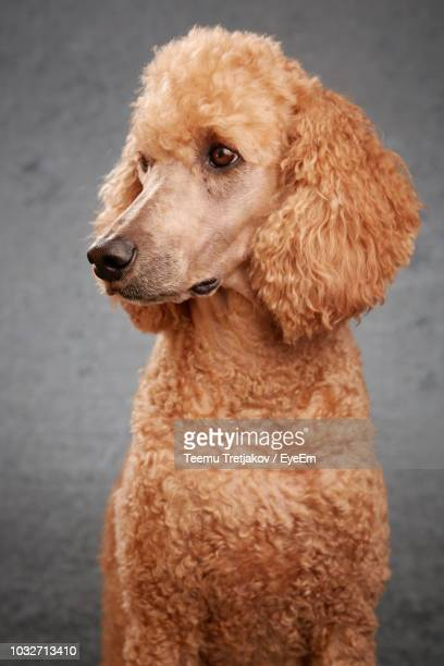 Standard Poodle Against Gray Background