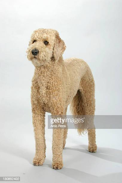 Standard Poodle, apricot, sheared
