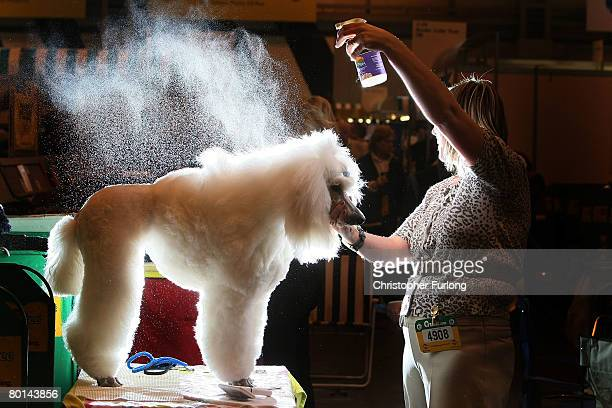 Standard Poodle Beau has water sprayed on her by her groomer Lynne Land before going in the parade ring at Crufts 2008 at the National Exhibition...