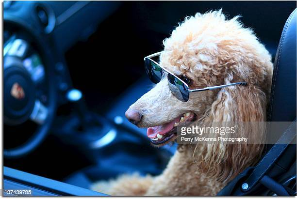 standard poodle dog driving car - poodle stock pictures, royalty-free photos & images