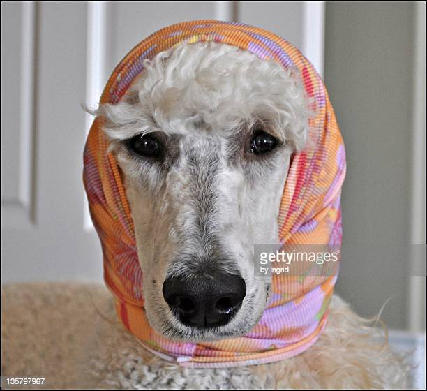 Standard poodle dog with head covered with scarf