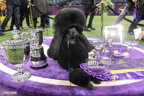 Standard Poodle named Siba sits in the winners circle after winning Best in Show during the annual Westminster Kennel Club dog show on February 11,...