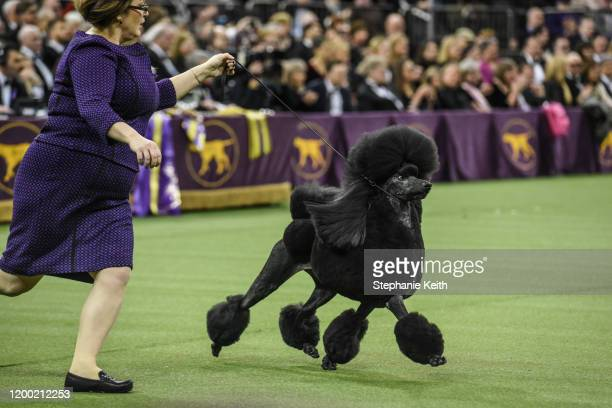 Standard Poodle named Siba wins Best in Show during the annual Westminster Kennel Club dog show on February 11 2020 in New York City The 144th annual...