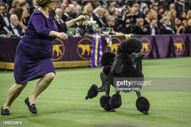 Standard Poodle named Siba wins Best in Show during the annual Westminster Kennel Club dog show on February 11, 2020 in New York City. The 144th...