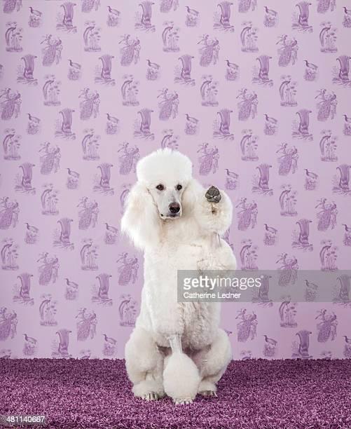Standard Poodle on Carpet and Wallpaper