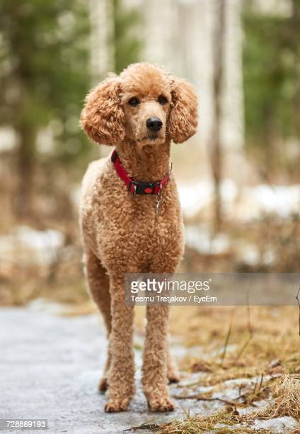 standard poodle on footpath - standard poodle stock photos and pictures