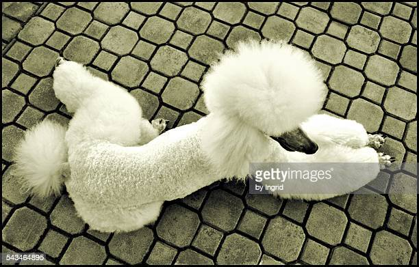 standard poodle - standard poodle stock photos and pictures