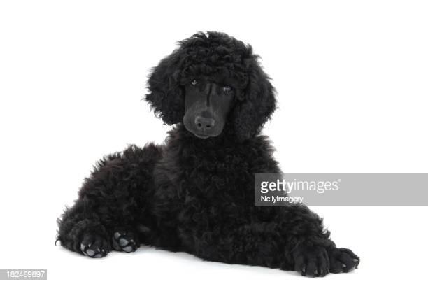 Standard Poodle cucciolo